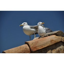 Seagulls, Antibes